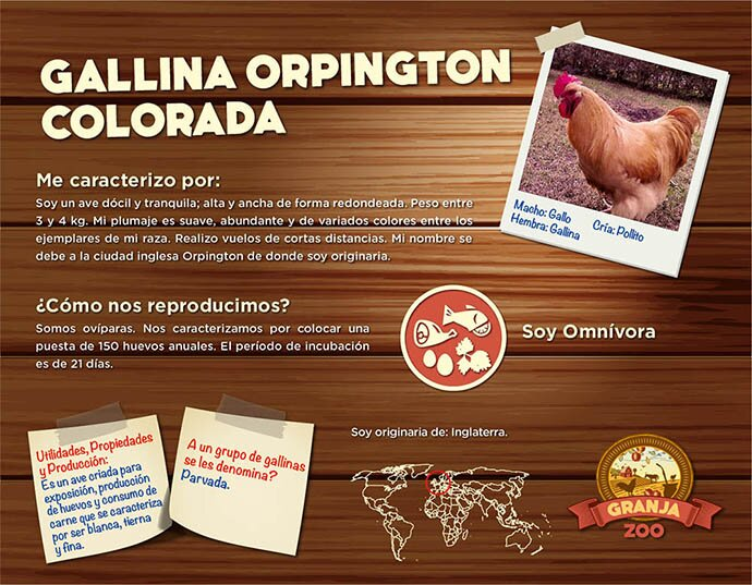 Gallina Orpington